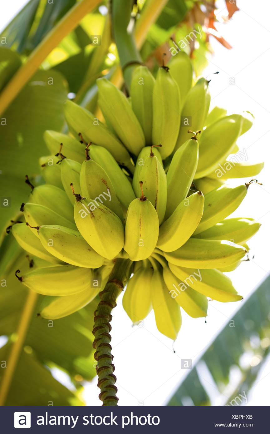 Bananas growing on tree - Stock Image