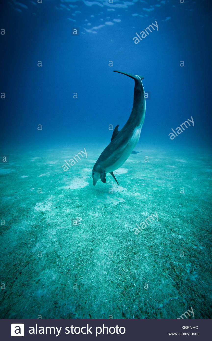 A bottlenose dolphin crater feeds in the waters off Bimini in the Bahamas. - Stock Image