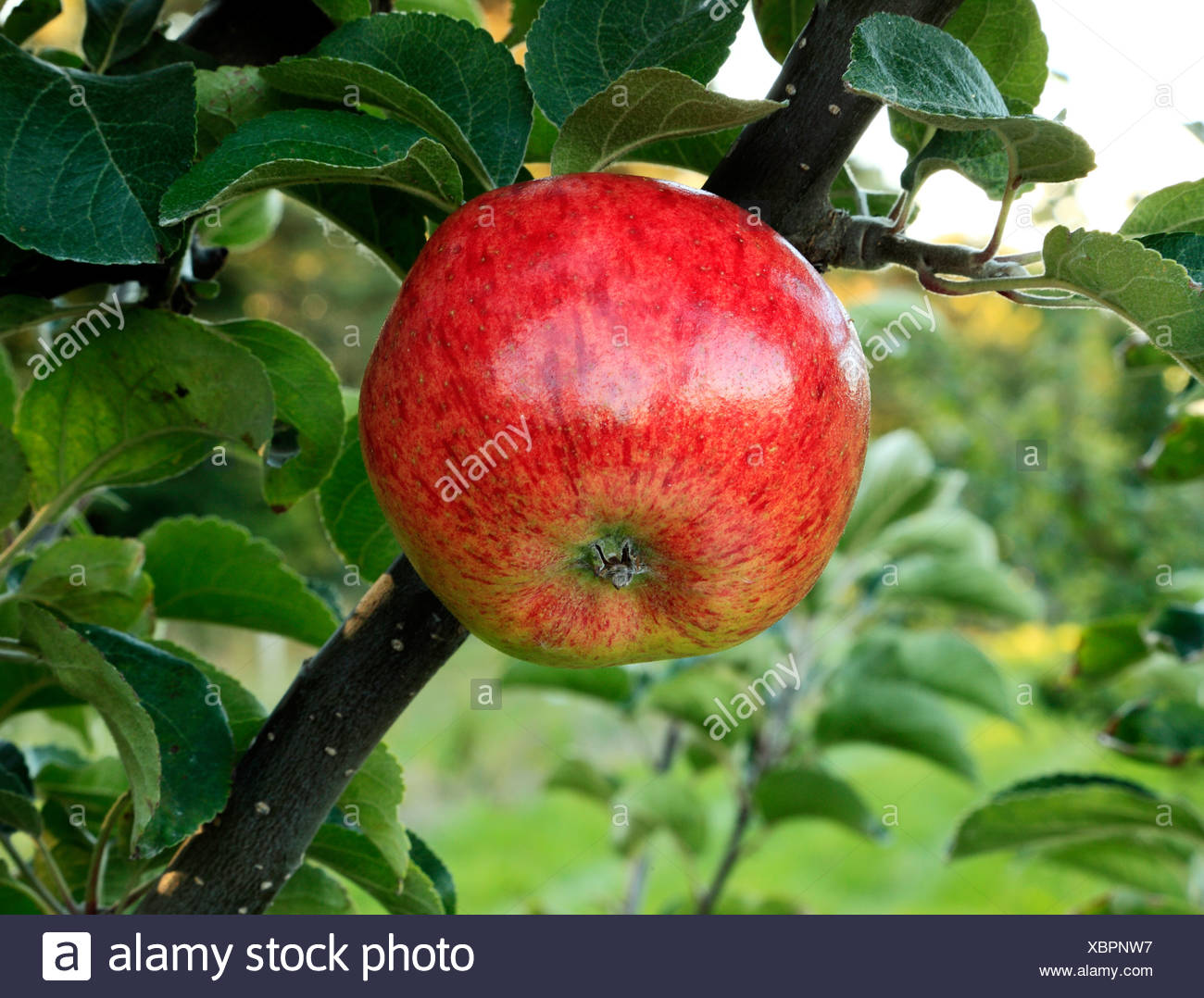 Apple 'Jolly Miller', Stock Photo