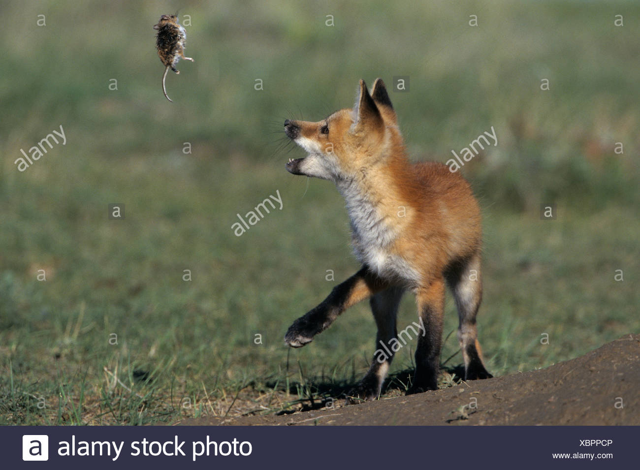 Red fox pup (Vulpes vulpes) playing with dead Deer mouse (Peromyscus maniculatus) near Maple Creek, Saskatchewan, Canada Stock Photo