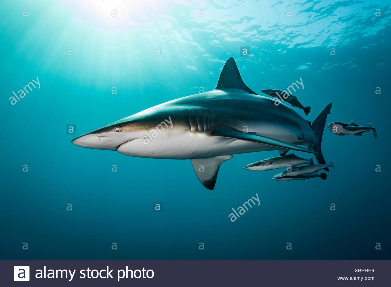 Oceanic Blacktip Shark (Carcharhinus Limbatus) swimming near surface of ocean, Aliwal Shoal, South Africa Stock Photo