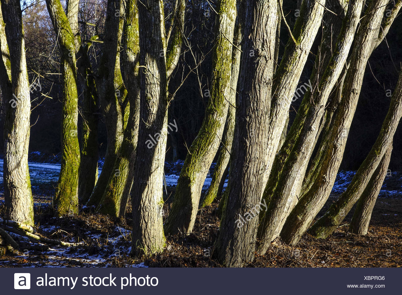 Eine Gruppe Bäume ohne Blätter im Winter, Spätherbst, A group of trees without leaves in winter, late autumn, Winter, Autumn, Tr - Stock Image