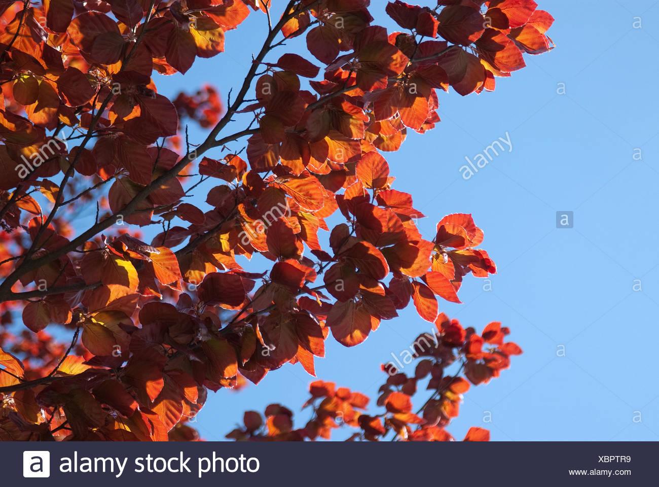 copper beech (Fagus sylvatica 'Purpurea Latifolia', Fagus sylvatica Purpurea Latifolia), cultivar Purpurea Latifolia, branch against blue sky - Stock Image