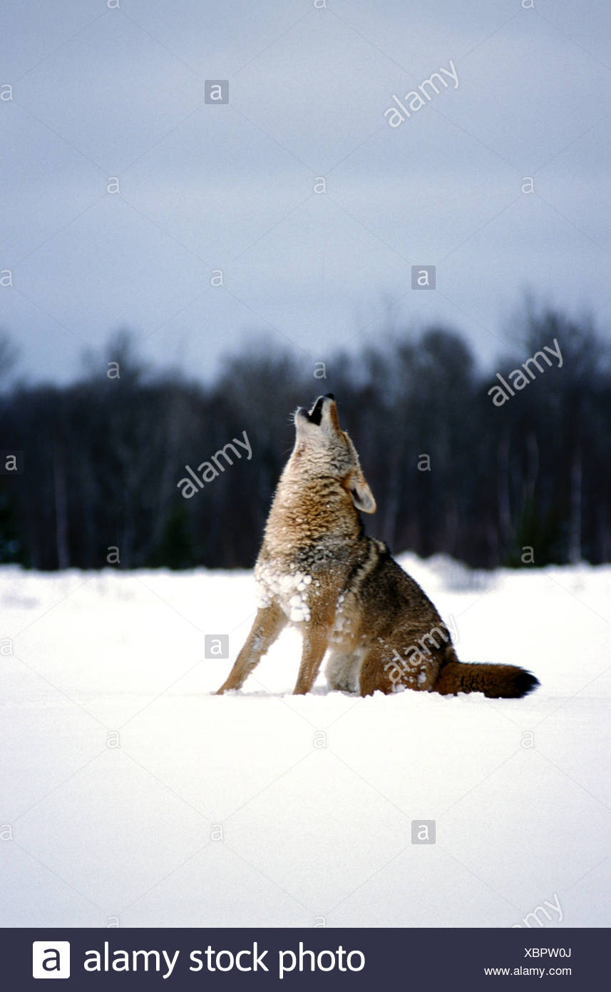 Coyote Canis latrans howling in snow - Stock Image