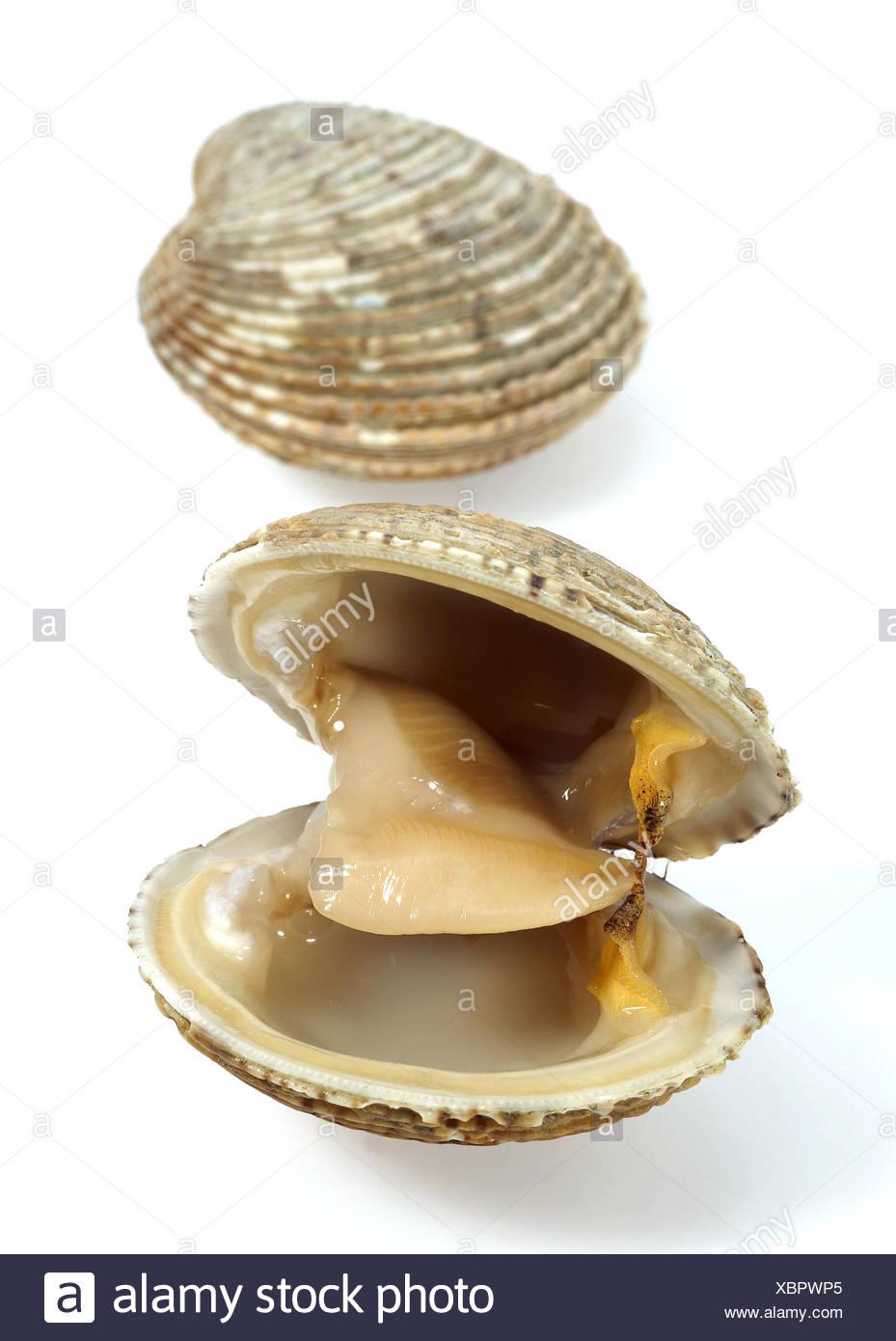 Clams, venus verrucosa, Shells against White Background - Stock Image
