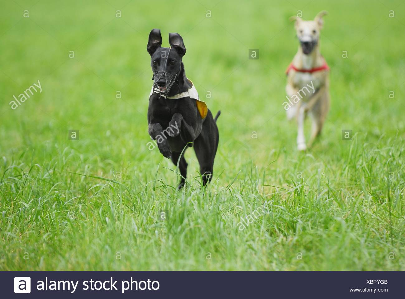 Whippets at Coursing Stock Photo