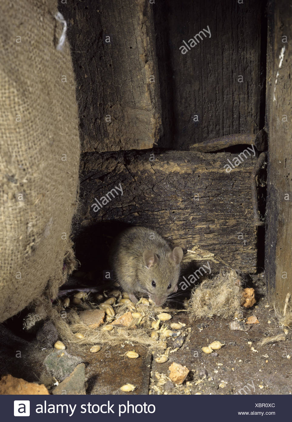 House Mouse - Mus domesticus - Stock Image