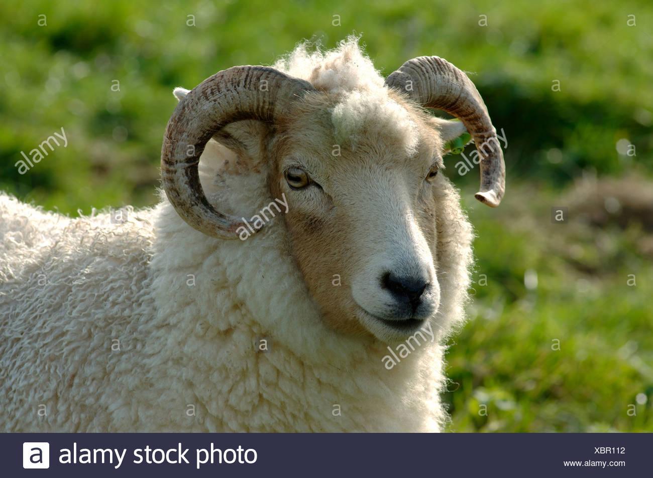 Head of a Portland ewe Devon - Stock Image