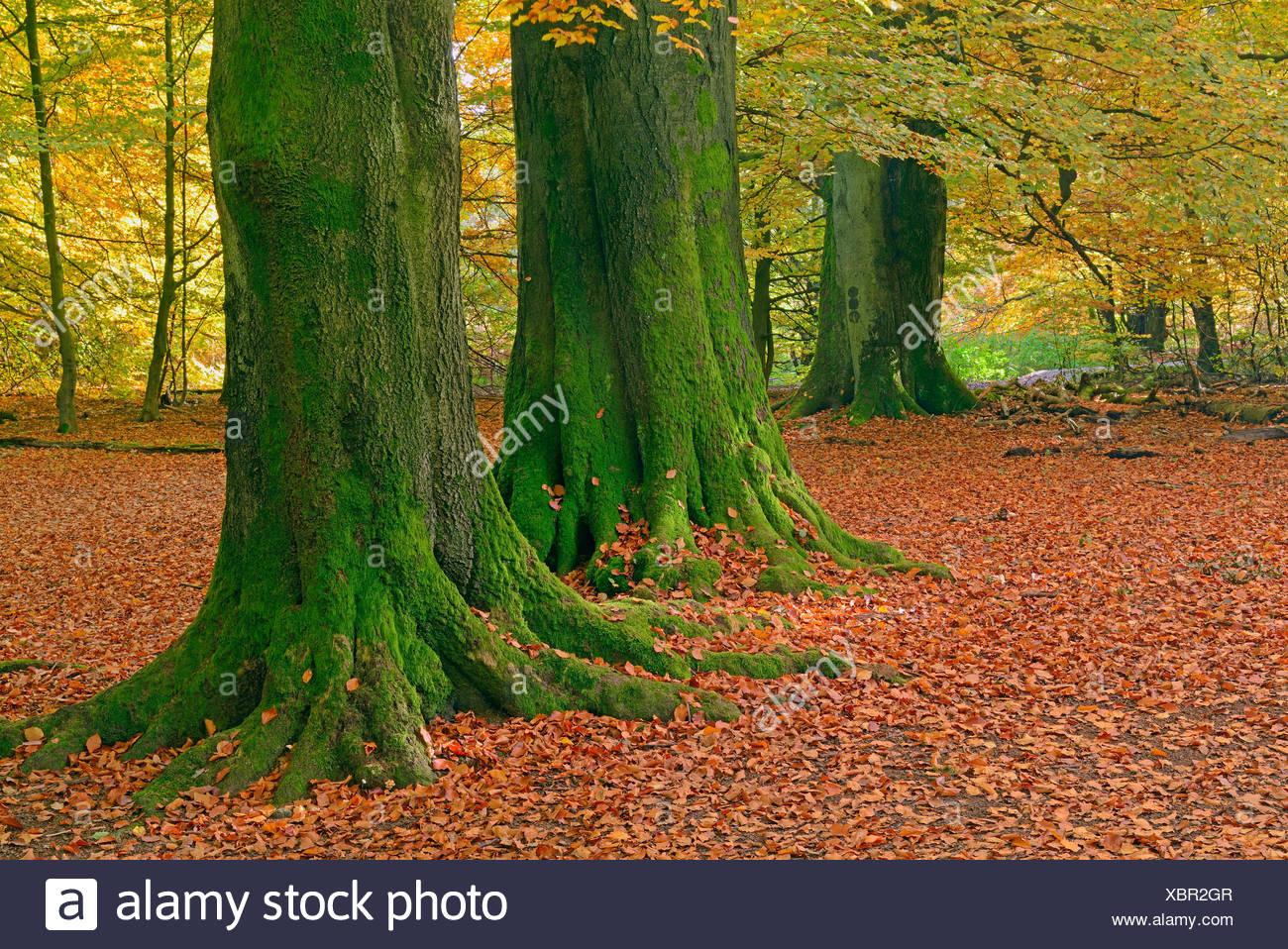 Beech trees, trunks, nature reserve Primeval Forest Sababurg, Hesse, Germany / (Fagus spec.) - Stock Image