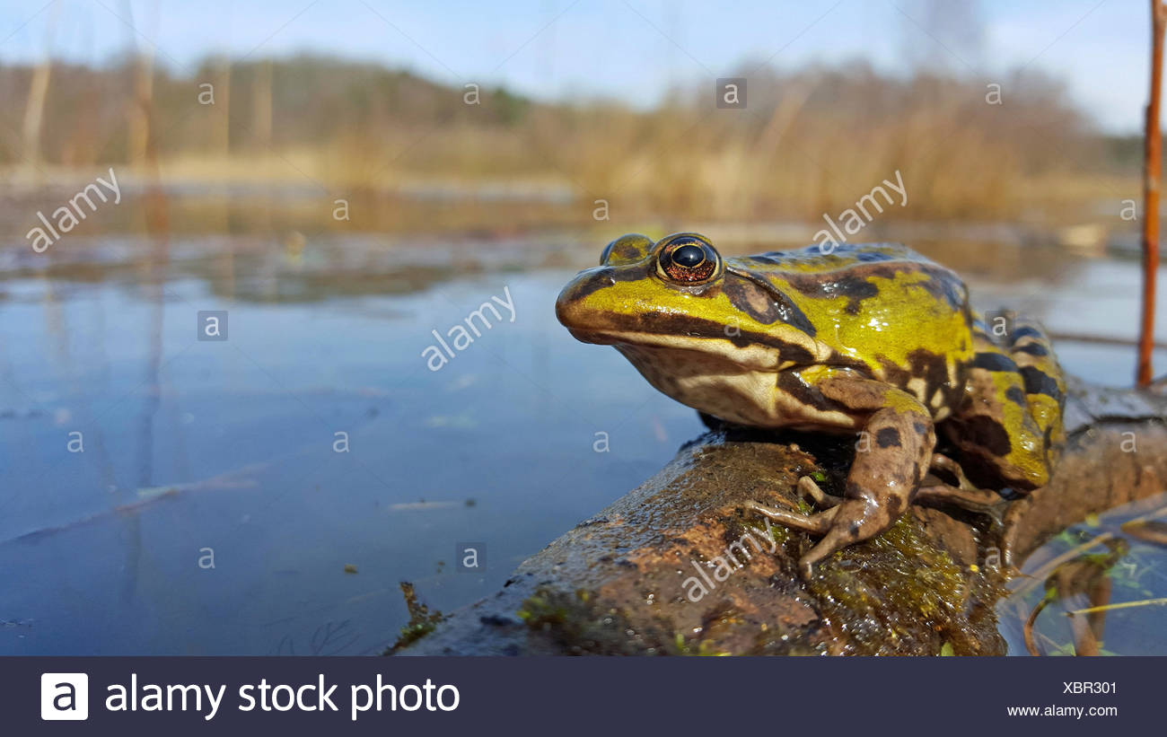 Edible frog in its habitat - Stock Image