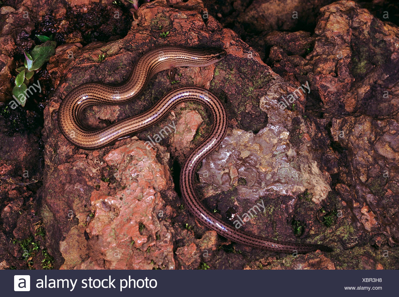 Riopa sp. Snake skink. An extremely elongated skink with reduced limbs. They are mainly found in the upper layers of the soil - Stock Image