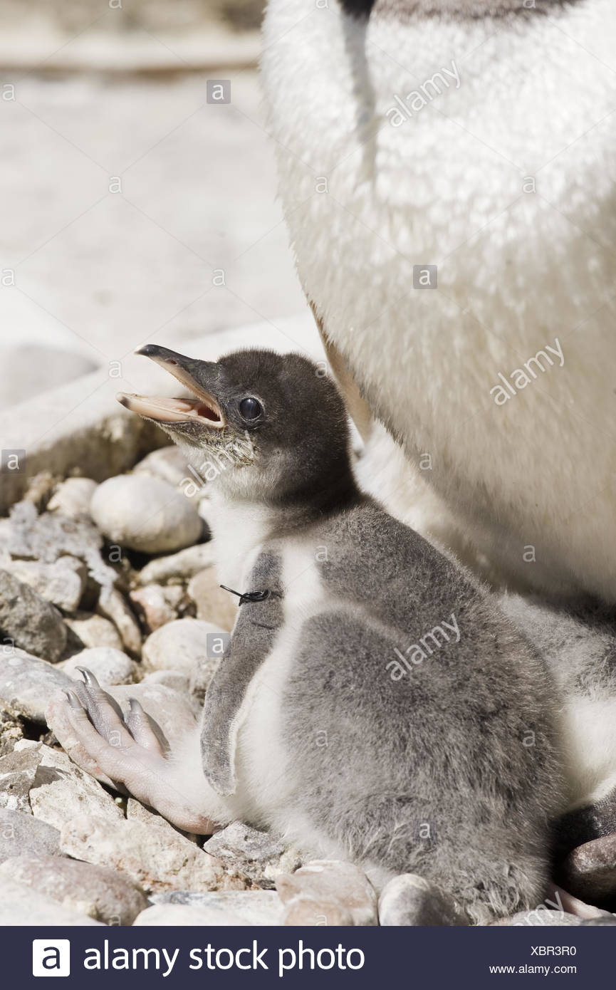 Gentoo Penguin Stock Photo