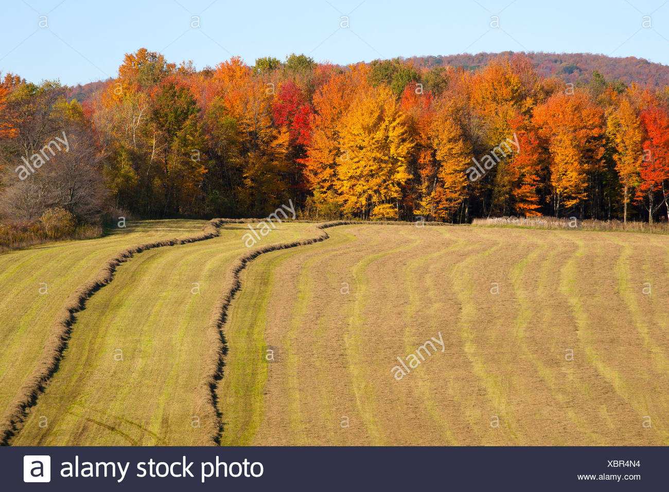 Hayfield being harvested in autumn, Abercorn, Quebec, Canada - Stock Image