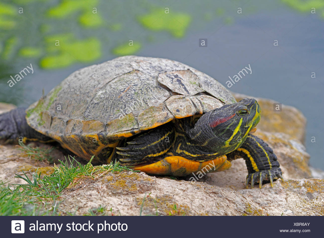 red-eared turtle, red-eared slider (Pseudemys scripta elegans, Trachemys scripta elegans, Chrysemys scripta elegans), portrait of an animal lying at the water's edge - Stock Image