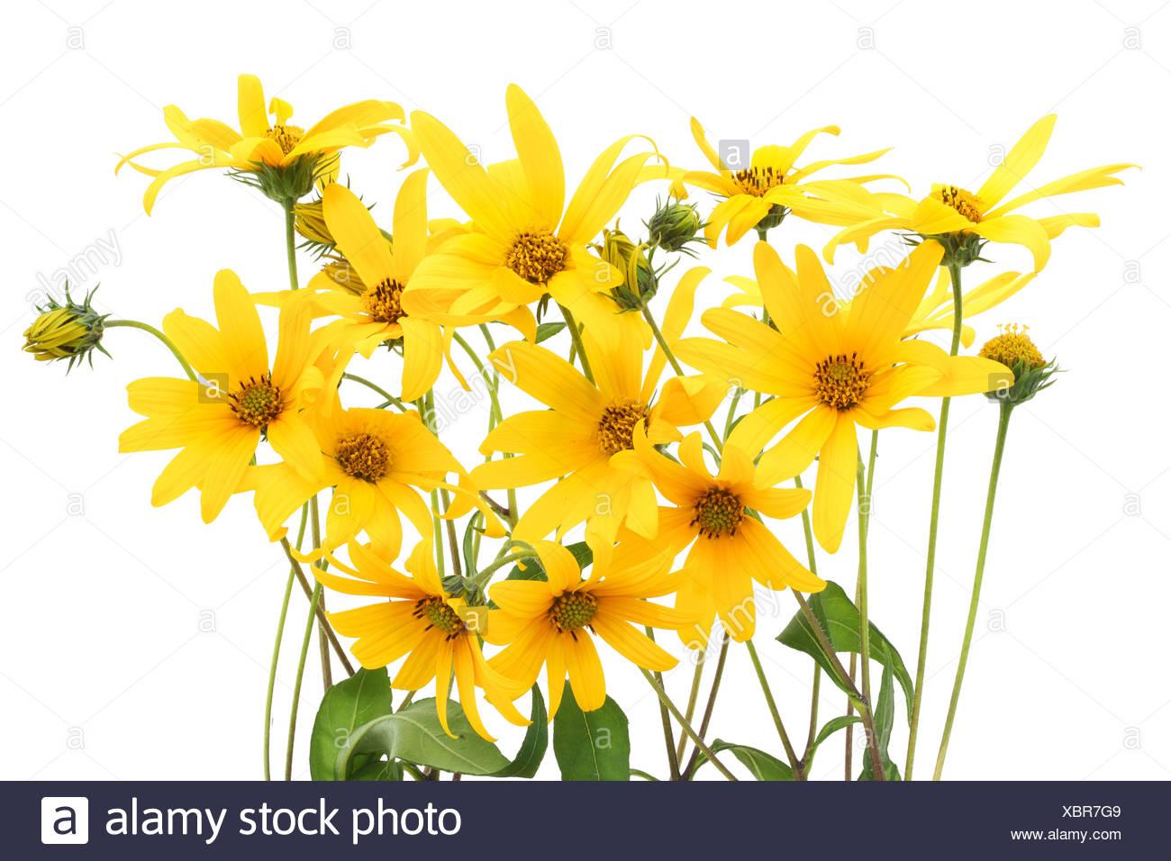 Topinambur Yellow Flowers Background Stock Photos Topinambur