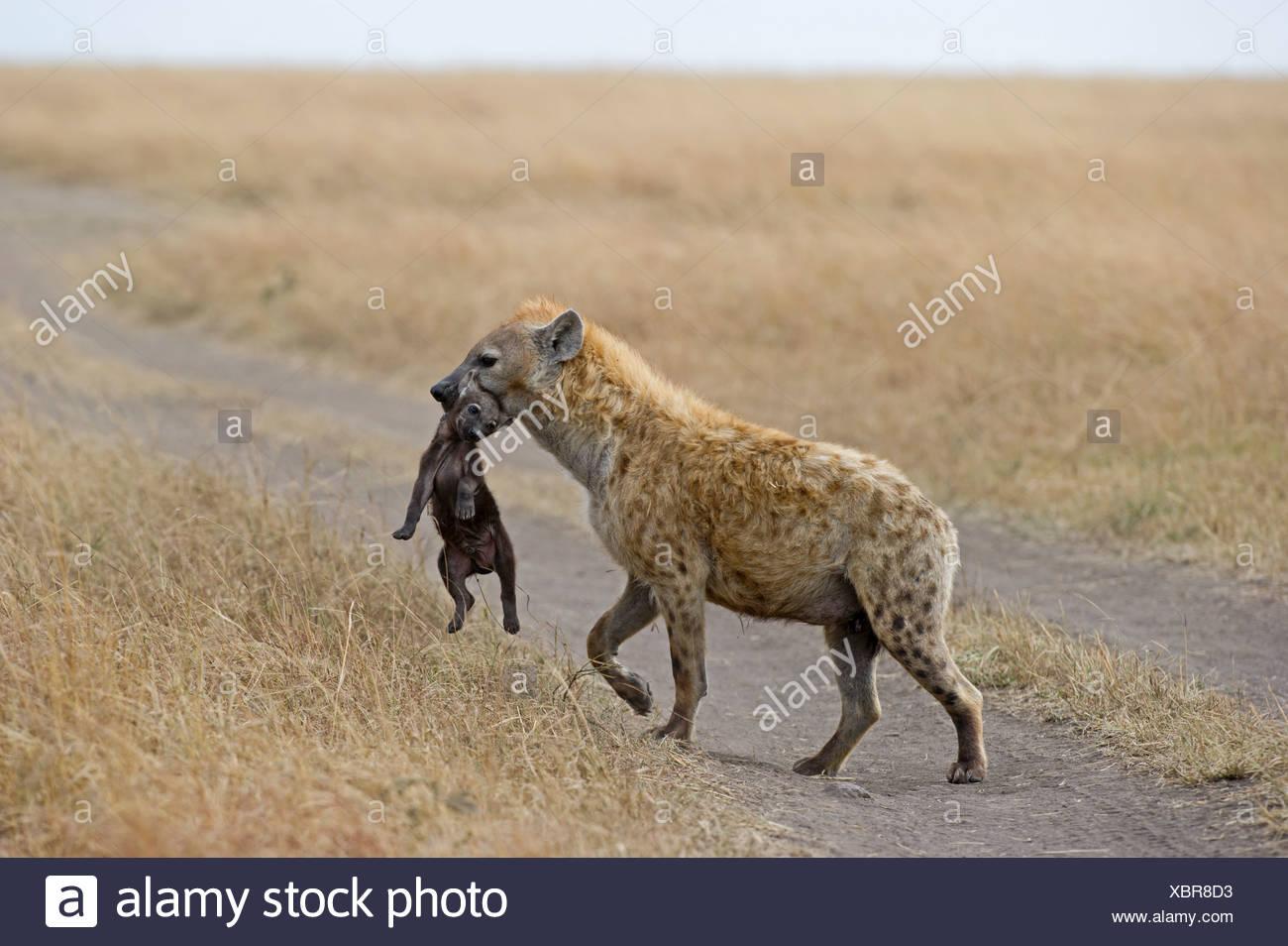 Spotted Hyena Crocuta crocuta with young pup Masai Mara Kenya Stock Photo