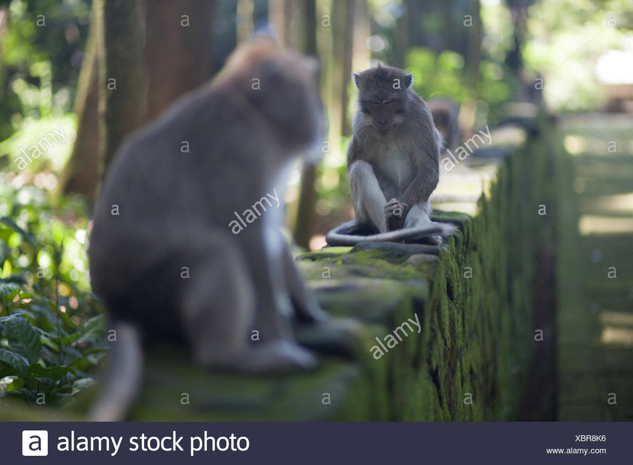 Long-Tailed Macaques Sitting On Wall - Stock Image