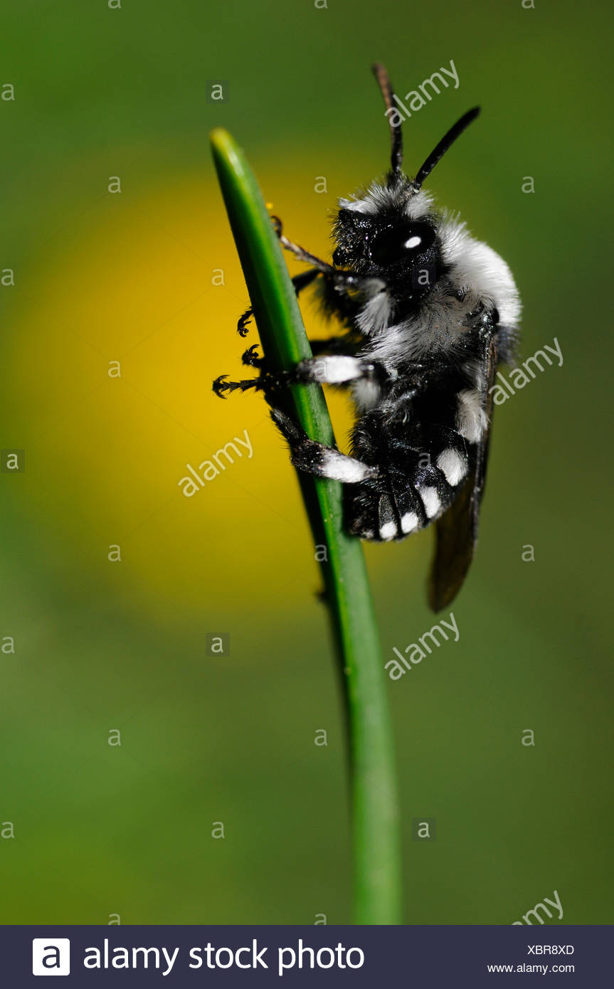 Cuckoo bee on a blade of grass - Northern Vosges France - Stock Image