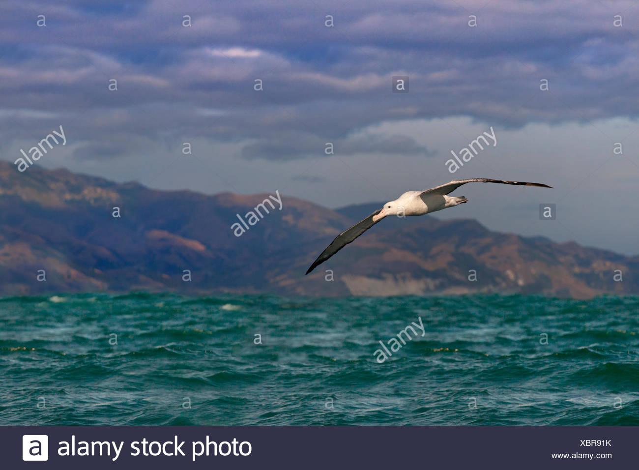 Wandering albatross (Diomedea exulans) in flight, Kaikoura, New Zealand - Stock Image