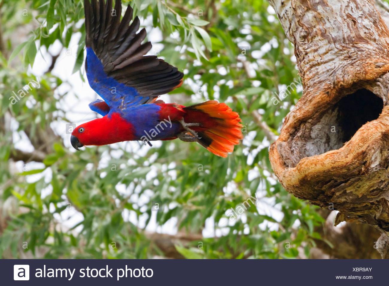 eclectus parrot (Eclectus roratus), female starting, Australia, Queensland, Cape York Peninsula Stock Photo
