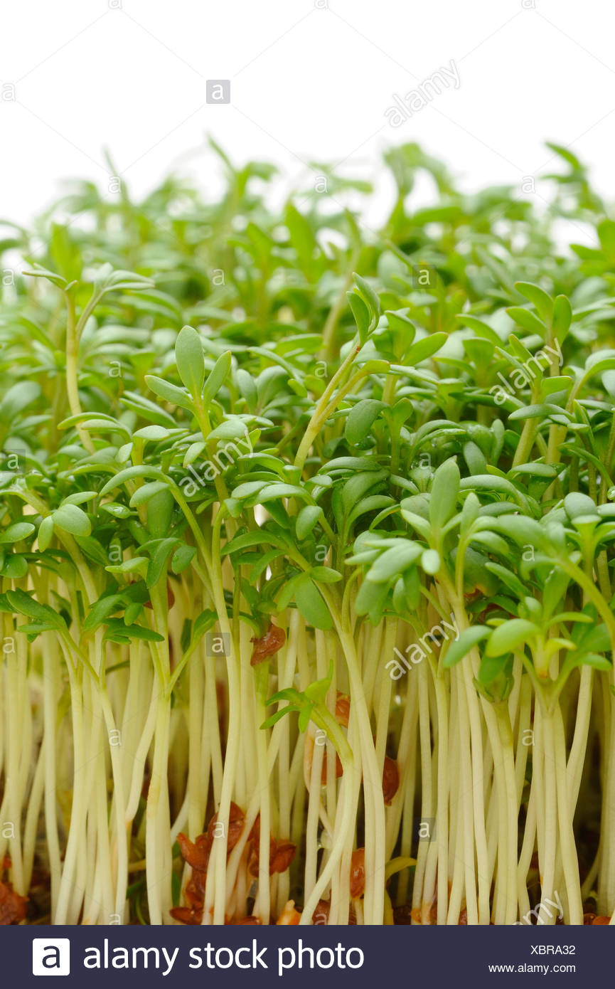 Garden cress Stock Photo