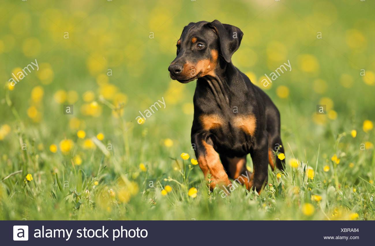 Doberman Pinscher dog - puppy on meadow - Stock Image
