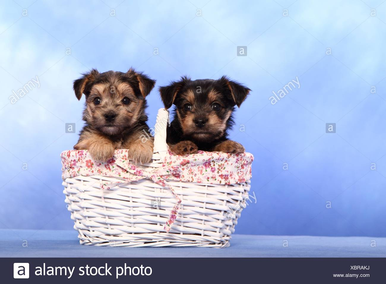 mongrel puppies - Stock Image