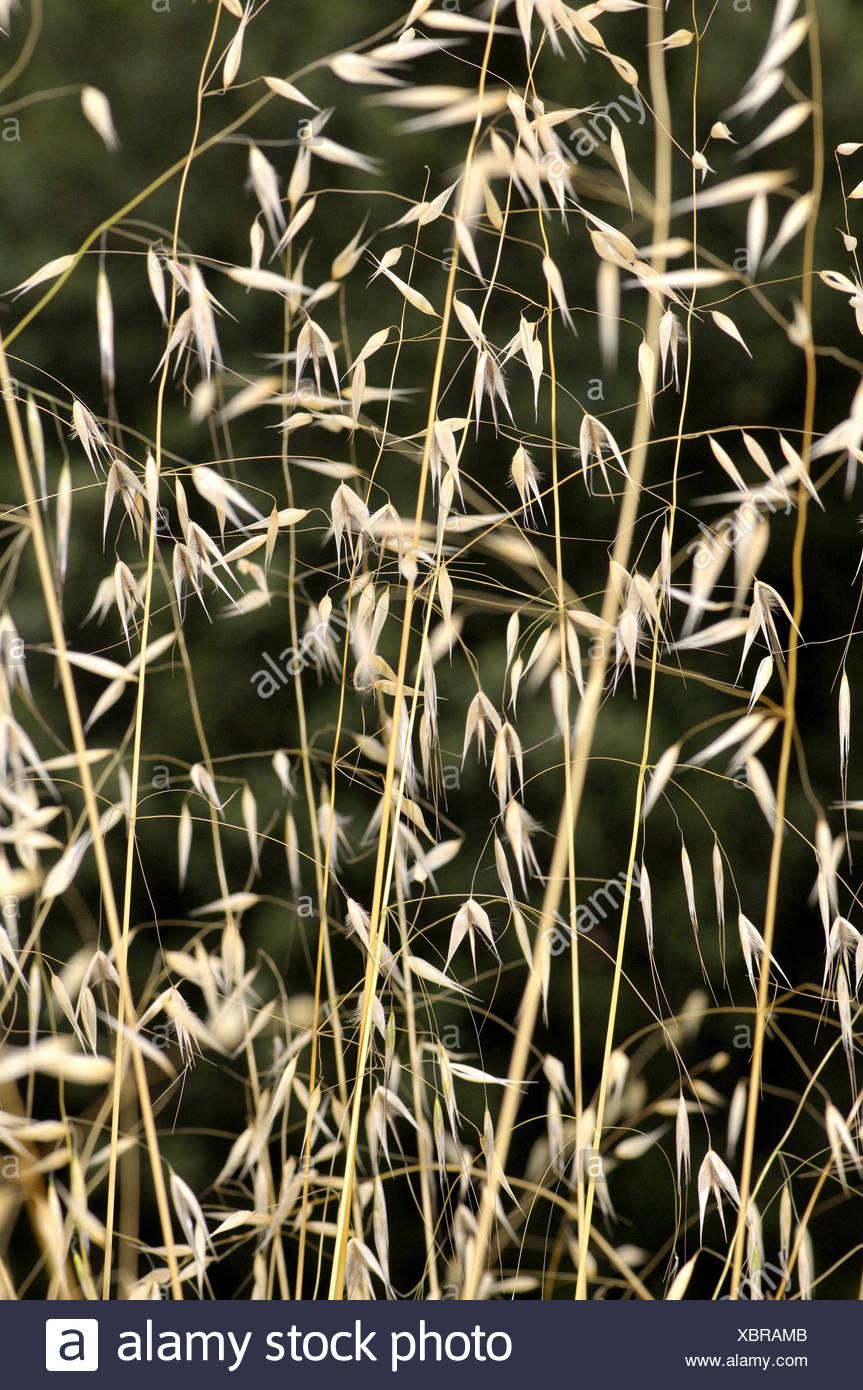 Avena fatua, wild Oat, species of grass in the Oat genus. Torrelles de Llobregat, Barcelona, Catalonia, Spain Stock Photo