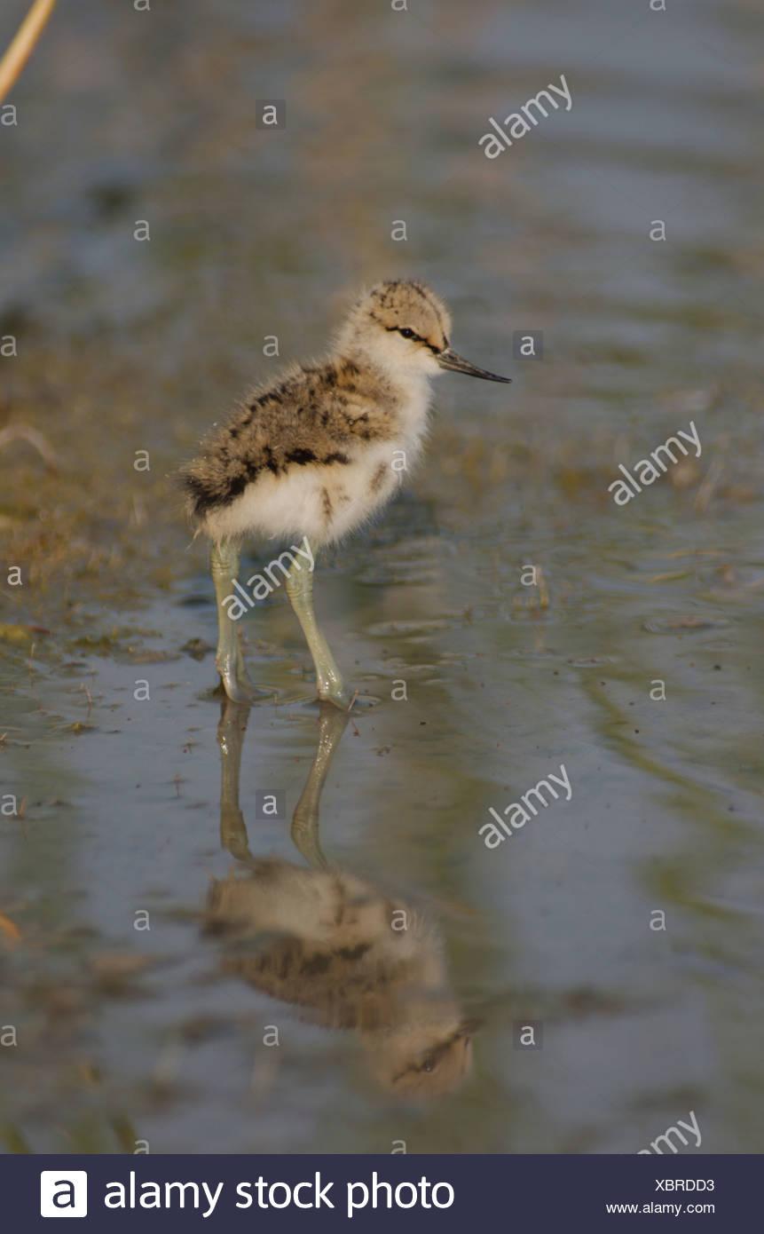 Austria, Burgenland, avian, plover, Recurvirostra, Avocet, Recurvirostra avosetta, water, young animal, panel format - Stock Image