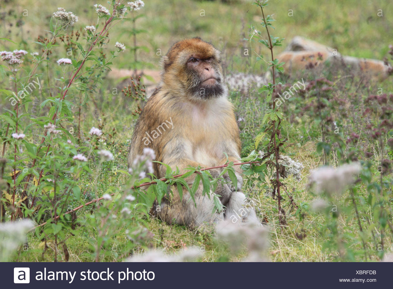 Berber's monkey with young animal, - Stock Image