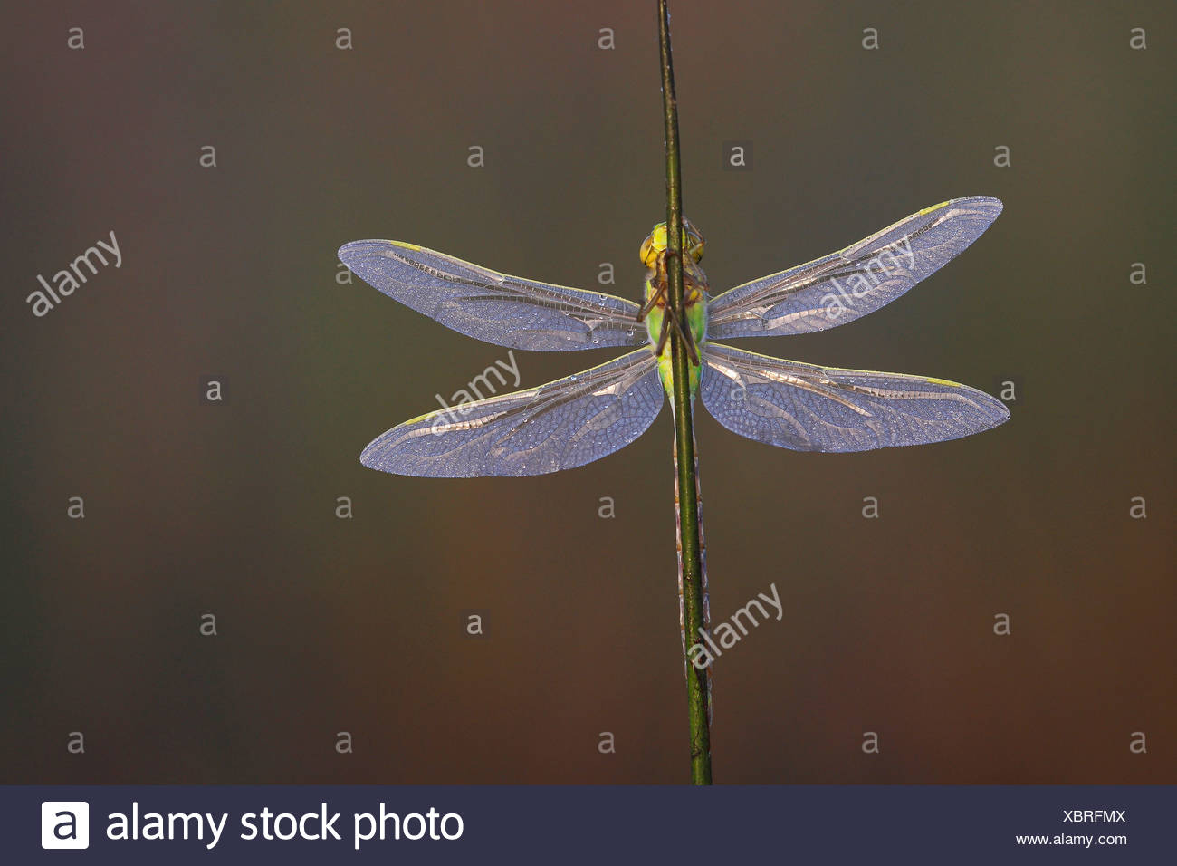 emperor dragonfly (Anax imperator), at blade of grass, Netherlands - Stock Image