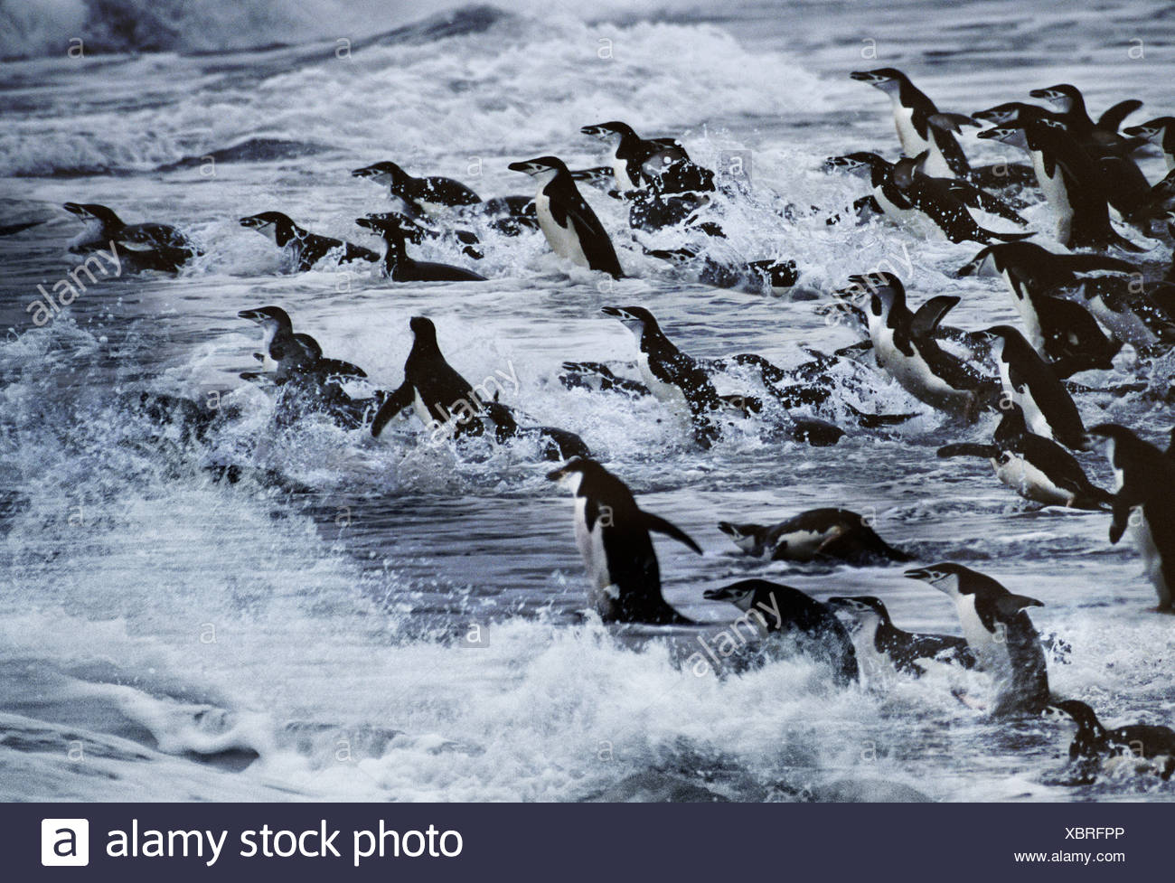 Chinstrap penguins in stormy seas Hannah Point Antarctica - Stock Image