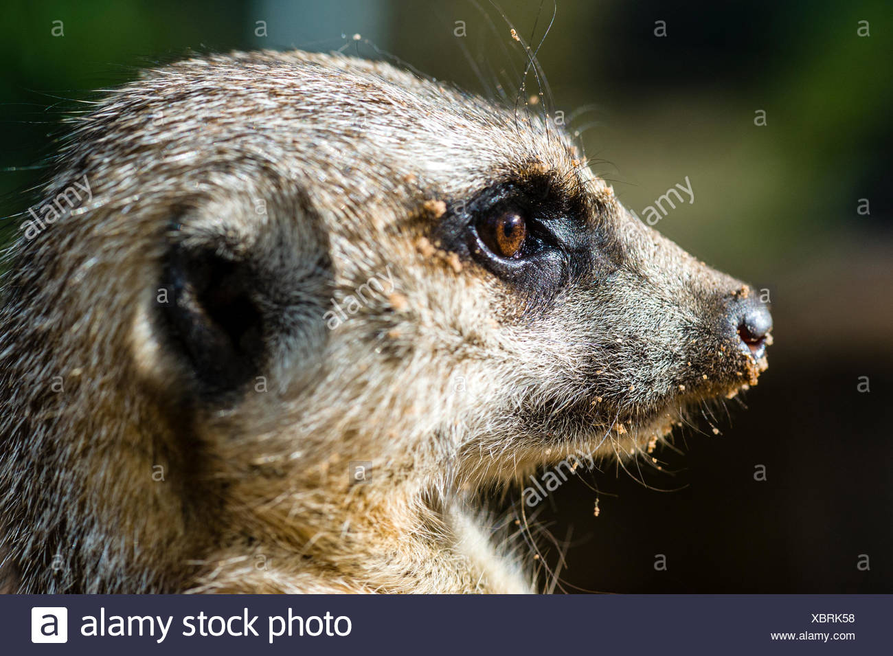 The eye of a Meerkat focussed on something in the distance. - Stock Image
