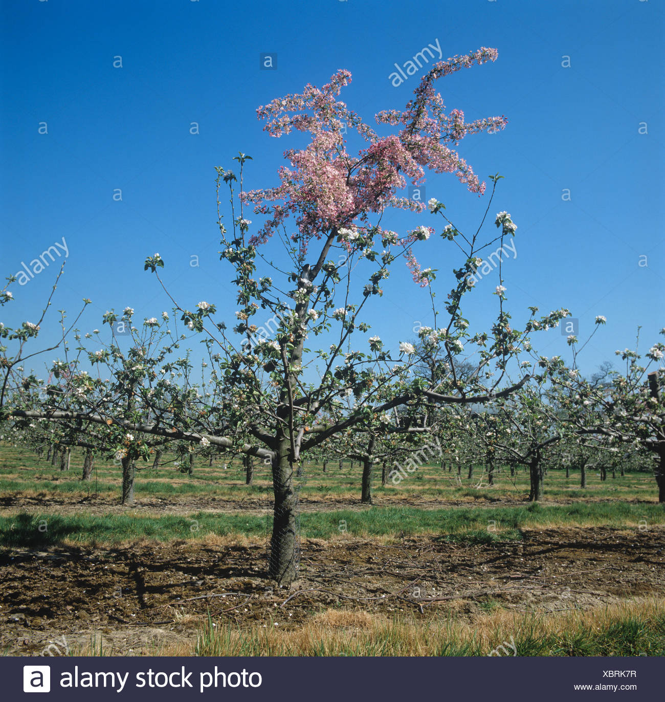 Pink flowering pollinator apple grafted to a white flowering variety Kent - Stock Image
