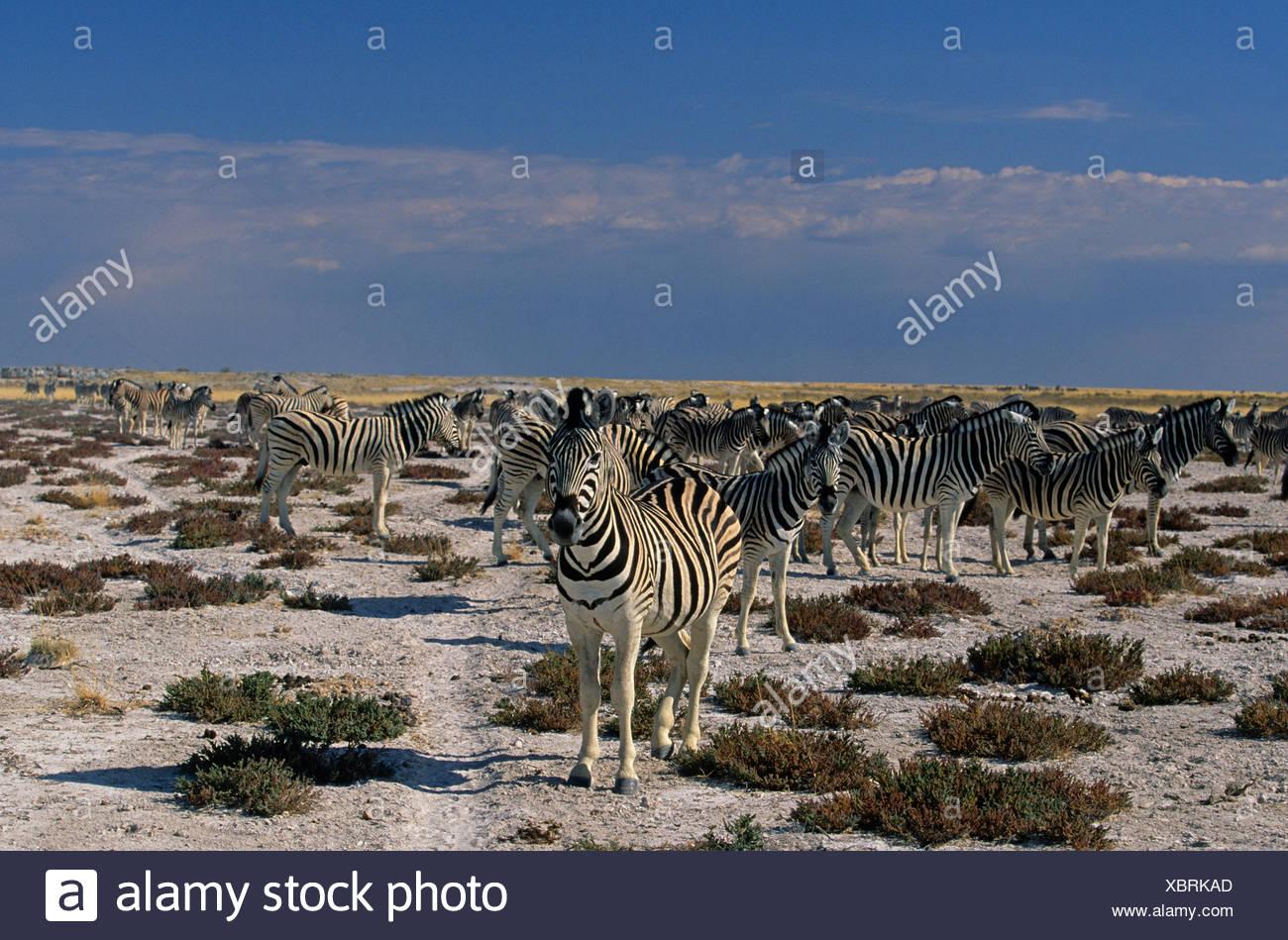Zebra (Equus quagga), Etosha National Park, Namibia, Africa - Stock Image