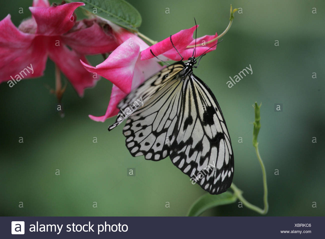 Blossoms, butterfly, white tree nymph, Idea leuconoe, Germany, Mecklenburg-West Pomerania, island Usedom, butterfly's farm route moor, animal, insect, hymenoptera, seldom, filigree, black-and-white, patterned, - Stock Image