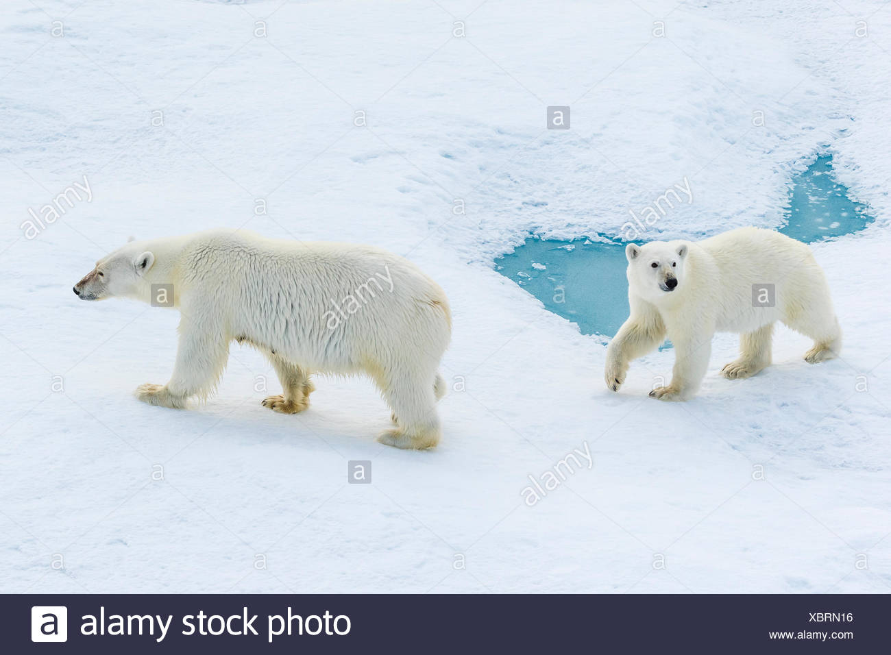 A polar bear cub and its mother (Ursus maritimus) wander across pack ice in the Canadian Arctic. - Stock Image