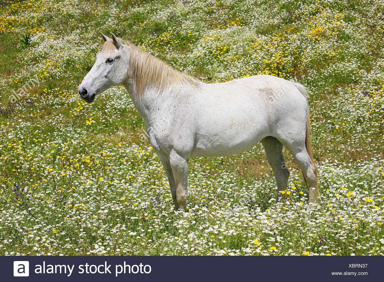 Lusitanian horse (Equus przewalskii f. caballus), white horse standing in a flower meadow, Portugal - Stock Image