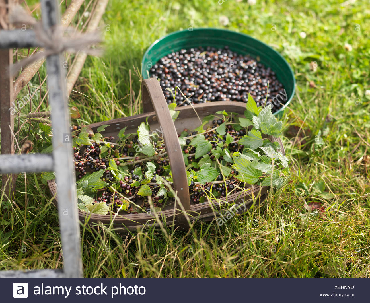 Containers With Harvested Blackcurrants - Stock Image
