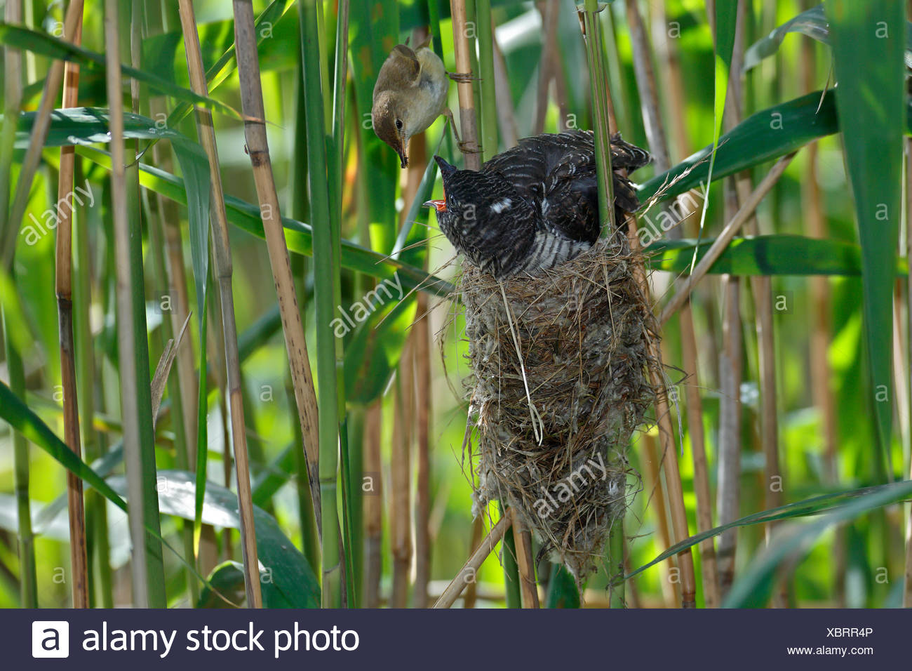 A young Common Cuckoo (Cuculus canorus) is fed by its host, a Eurasian Reed Warbler (Acrocephalus scirpaceus), Saxony-Anhalt - Stock Image
