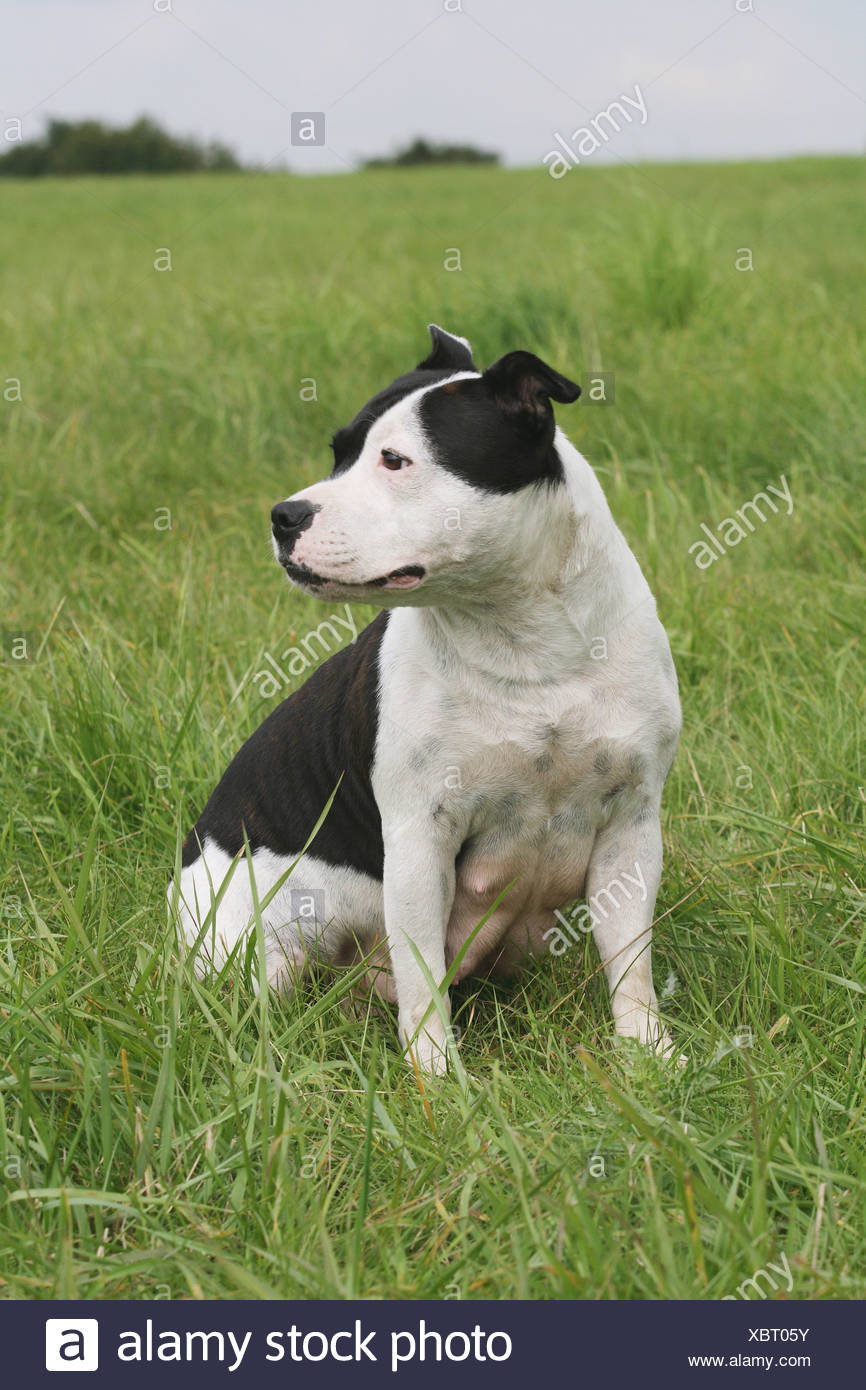 Staffordshire Bullterrier - sitting on meadow - Stock Image