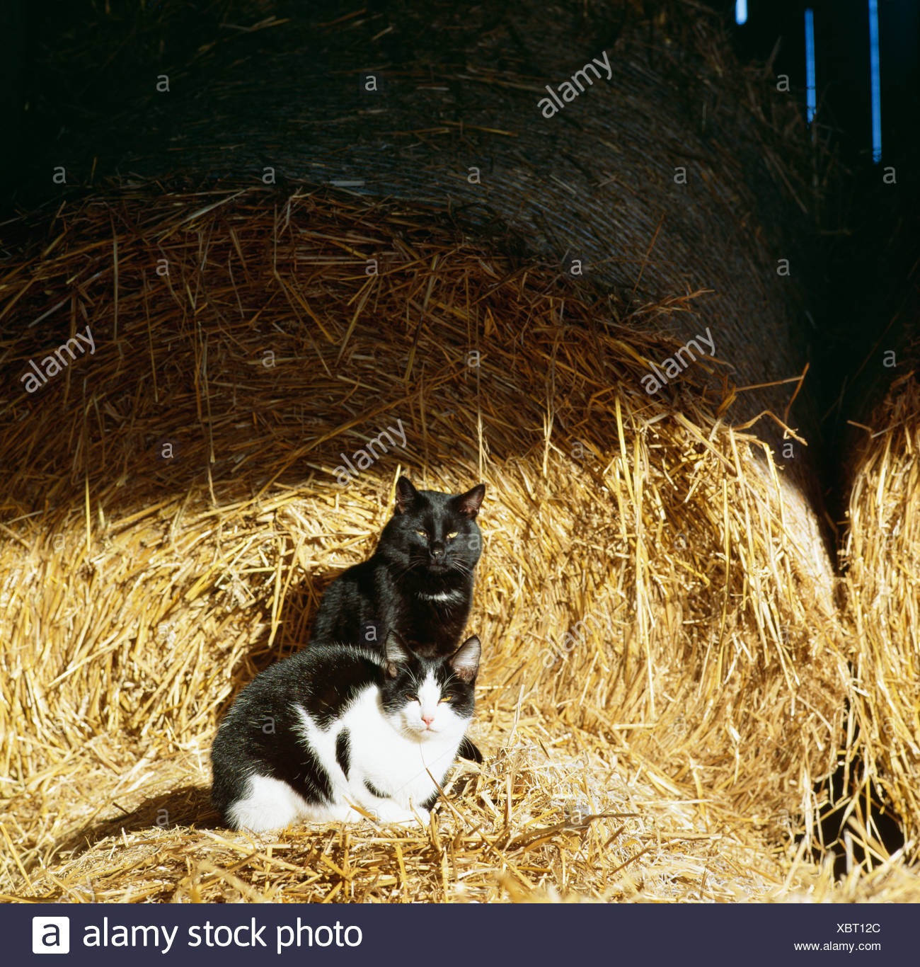 Cats at a farm, Sweden. - Stock Image