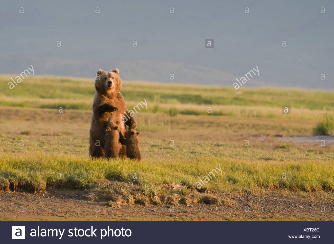 A Grizzly Bear (Ursus Arctos Horribilis) Nursing Her Two Cubs; Alaska, United States Of America - Stock Image