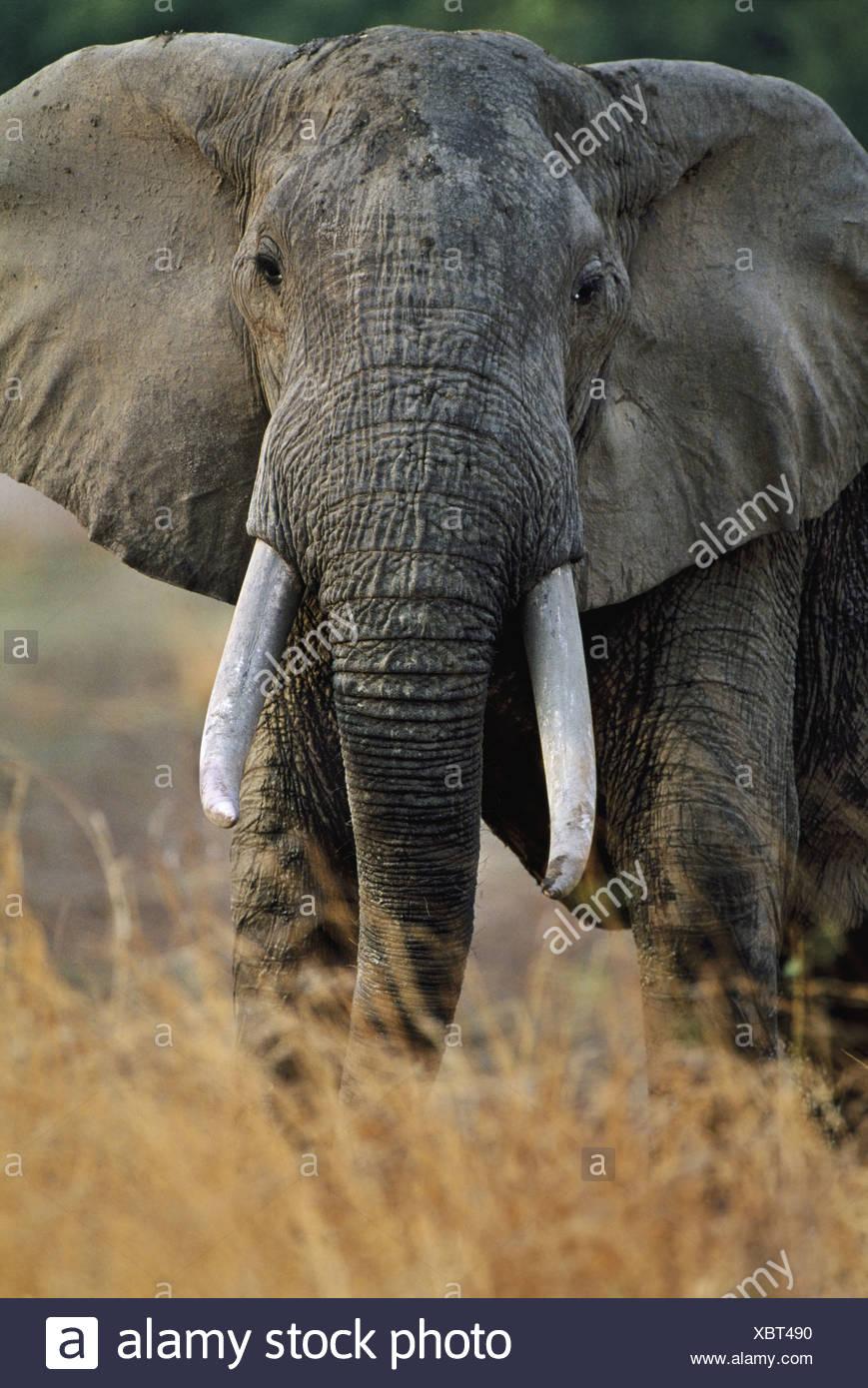 Luangwa Valley Zambia Elephant bull Loxodontafricana LuangwValley Zambia - Stock Image