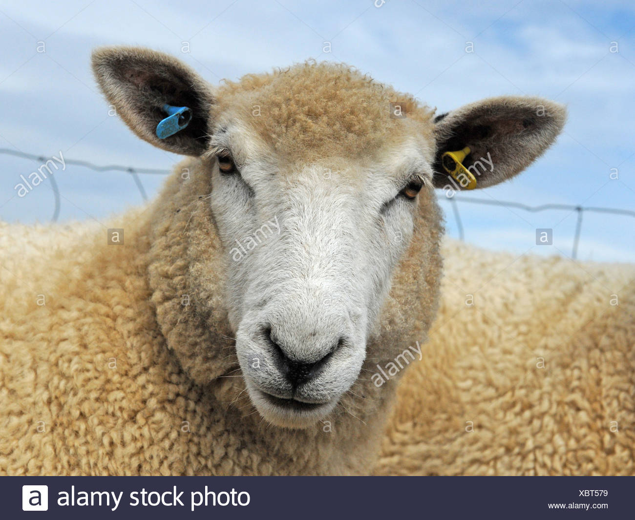 An angry looking sheep with light brown fleece - Stock Image
