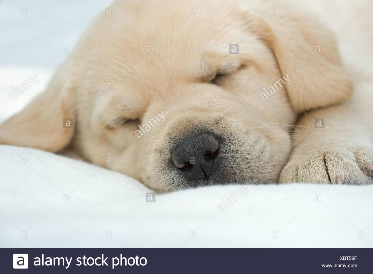 Labrador Retriever dog - puppy - sleeping - Stock Image