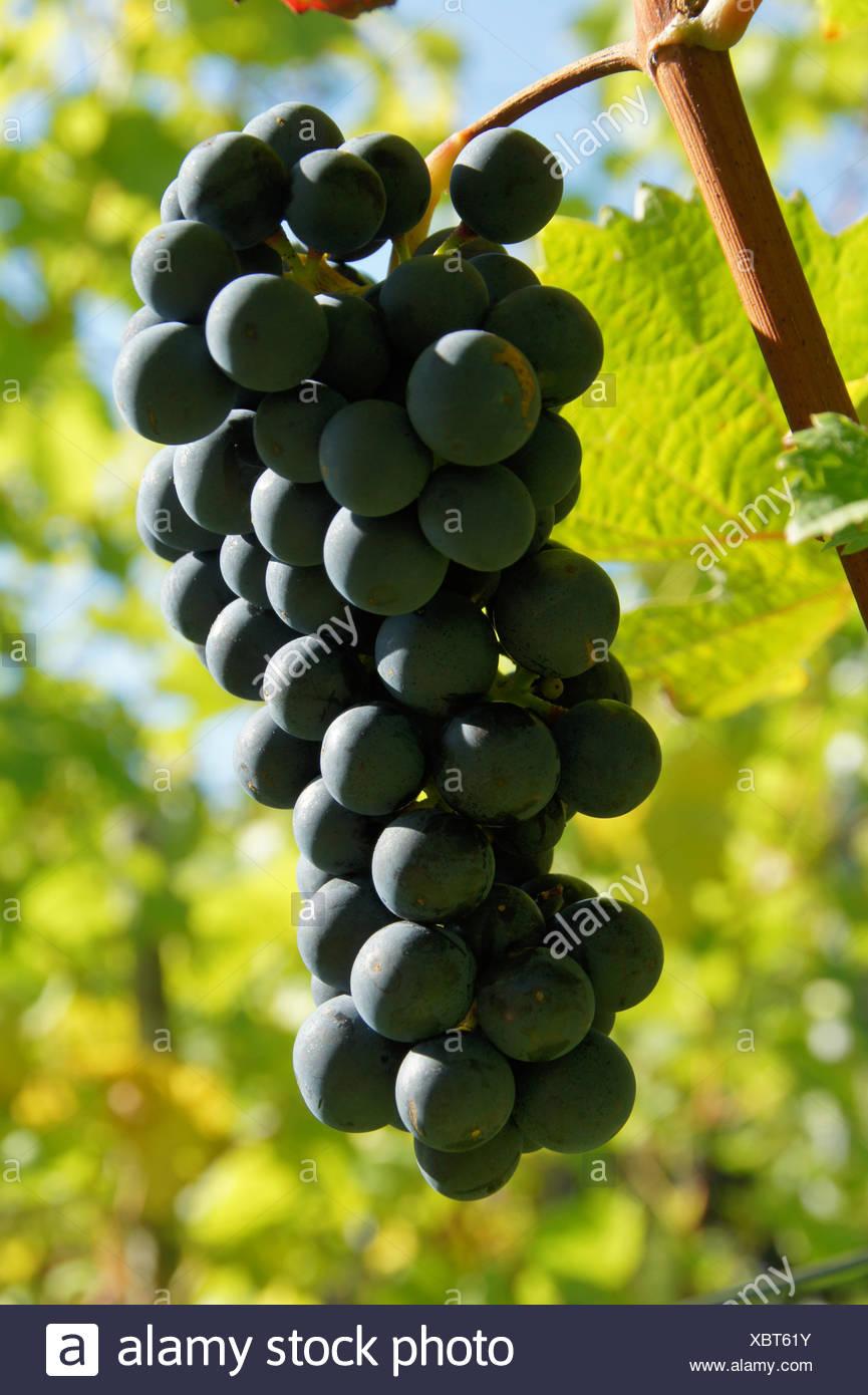 Vitis vinifera Dornfelder, Grape vine Stock Photo