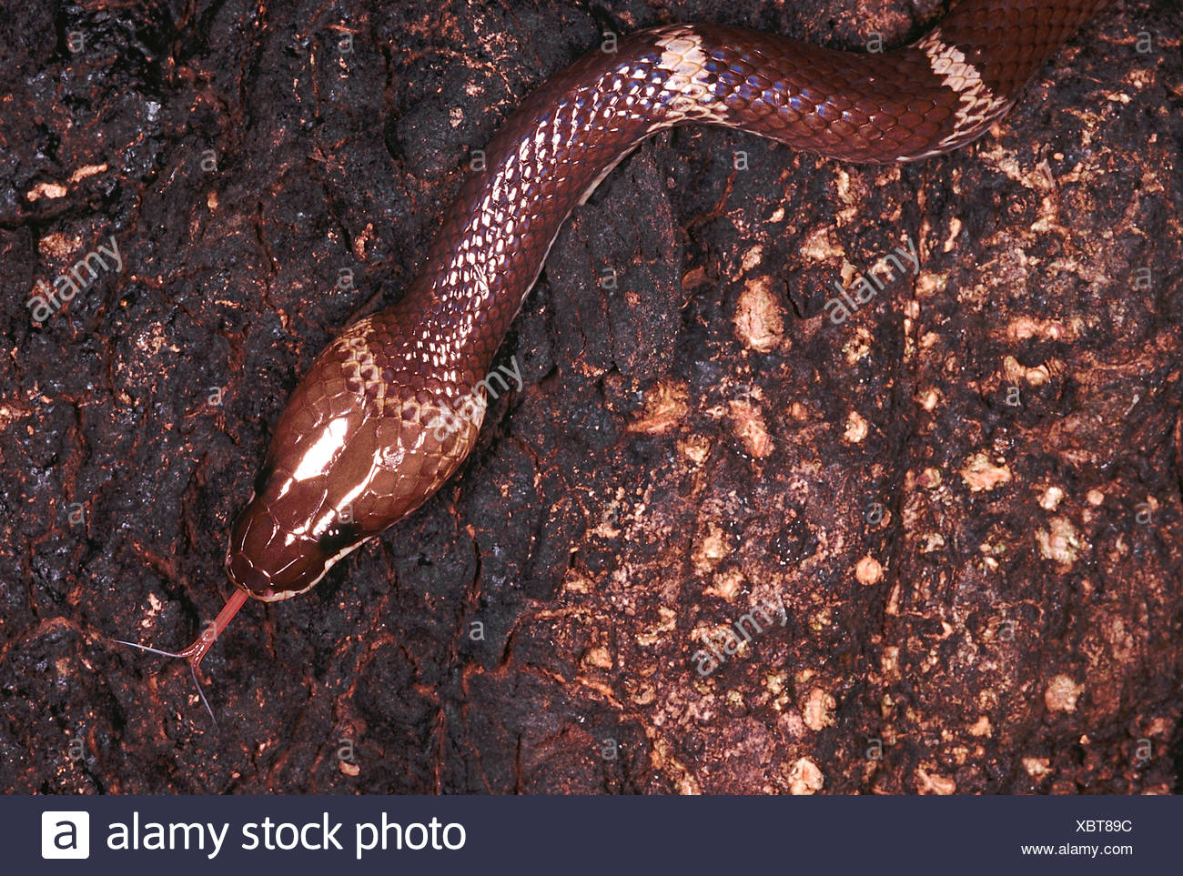 Oligodon Taeniolatus. Russell's or Variegated Kukri snake. An uncommon snake which is quite docile as well as shy. - Stock Image