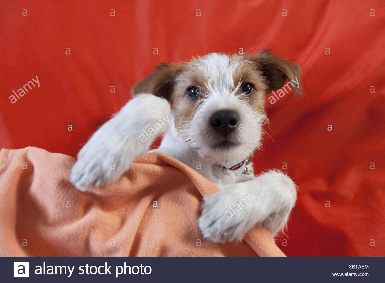 Terriers, puppy, bed, lie, covered, dog, Kromfohrländer, sleeping, sweetly, animal child, cheeky, pet, animal, inside, - Stock Image