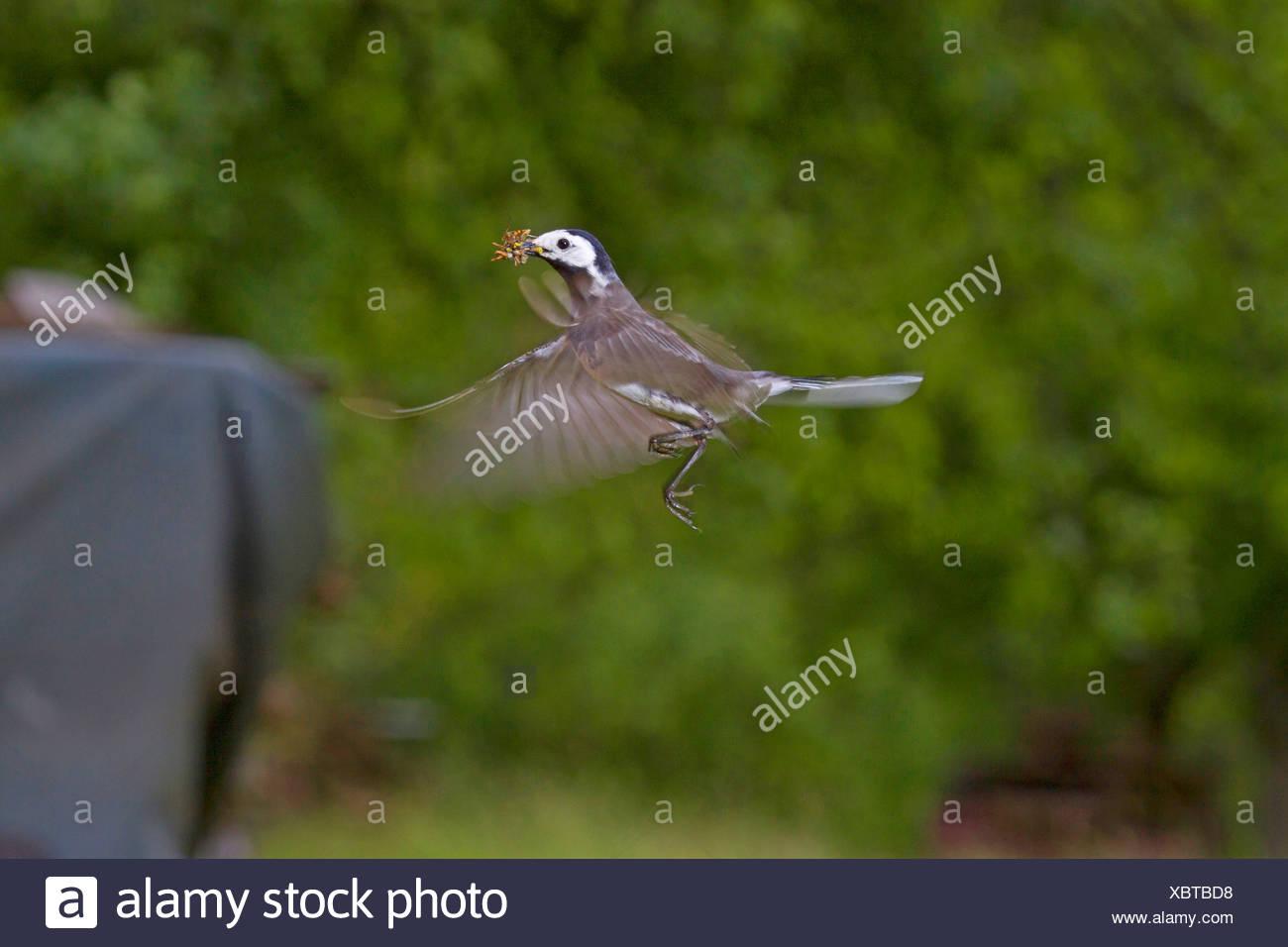 pied wagtail (Motacilla alba), flying with prey in its beak, Germany, Baden-Wuerttemberg Stock Photo